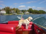 Blosser's Yellow Labrador Retriever. 'Angel'